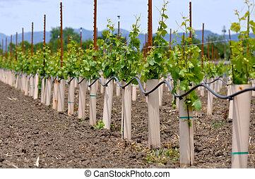 sendo, plantado, uvas, videiras