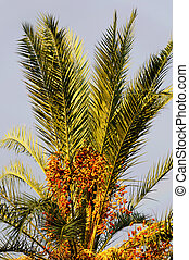 Senegal Palm with Fruit