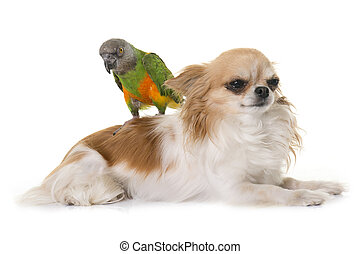 Senegal parrot on chihuahua
