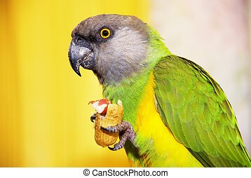 Senegalese parrot with a walnut in the paw