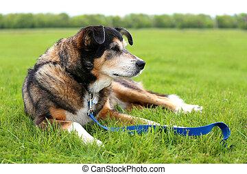 Senior Aged German Shepherd Border Collie Mix Breed Rescue...
