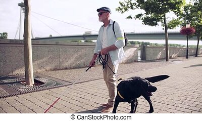 A senior blind man with guide dog outdoors in city, walking. Slow motion.