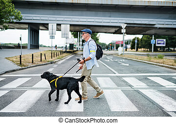 Senior blind man with guide dog walking outdoors in city, ...