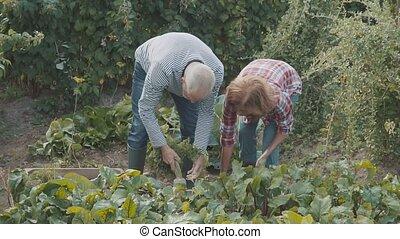 Senior couple gardening in the backyard garden.