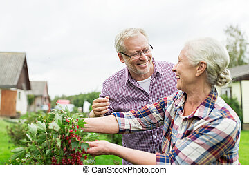 senior couple harvesting currant at summer garden - farming,...