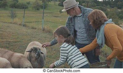 Senior couple with grandaughter feeding sheep on the farm. -...
