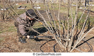 Senior elderly man gardener prunes bushes twigs - Active...