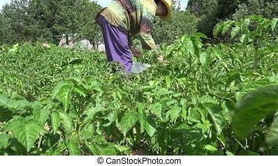 Senior farmer woman destroy colorado beetle larva with natural method. 4K