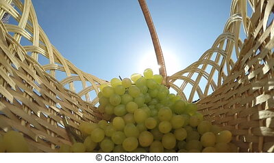 Senior female gardener putting bunch of grapes shining in sun rays inside basket
