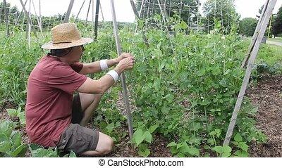 Senior gardener picking ripe peas