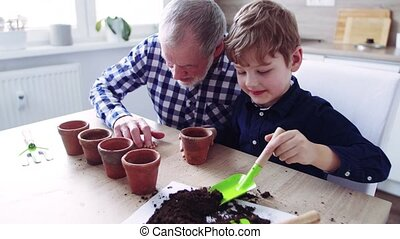 Senior grandfather with small grandson sowing seeds at home....