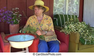 Senior grandma woman with hat pick chamomile flower herbs.
