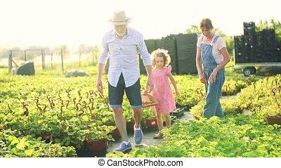 Senior grandparents and granddaughter picking strawberries ...