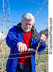 Senior male pruning vines