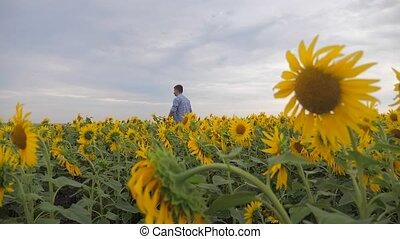 Senior man farmer examining crop of sunflowers in field slow...