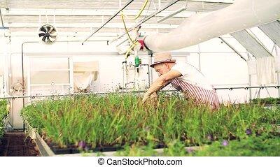 Senior man gardening in the greenhouse, working. Slow motion...