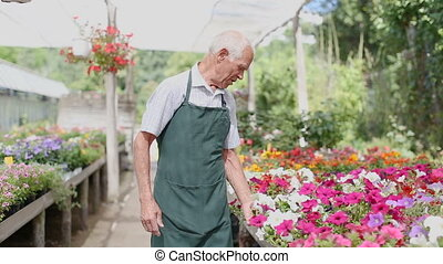 senior man tending and cultivating flowers in glasshouse
