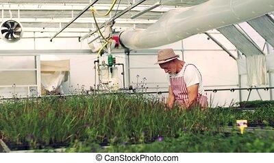 Senior man working in the greenhouse, gardening. - A senior ...