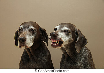 Senior pointer Sisters, almost 13 years old - Two senior...