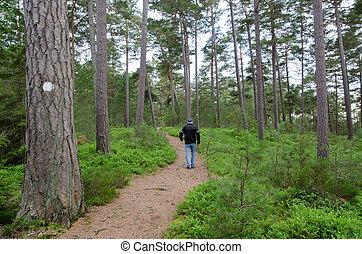 Senior walks in a pine forest