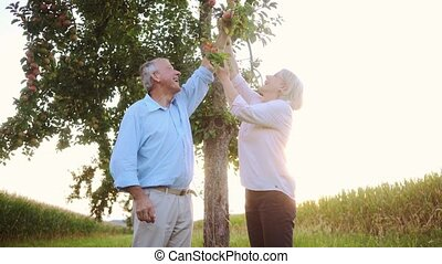 Senior woman and man plucking apples from a tree while having a walk