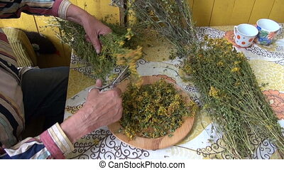 cutting dry medical St Johns wort - senior woman hands...