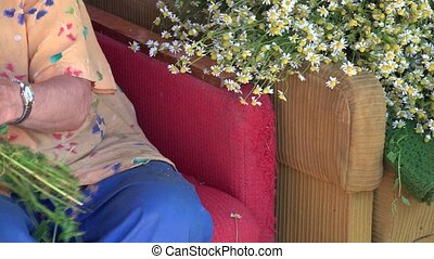 Senior woman hands pick herbal blooms from chamomile flower bunch.