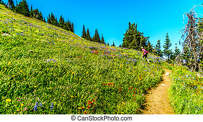 Senior woman hiking through the meadows covered in wildflowers in the high alpine