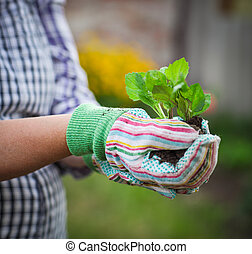 Senior woman holding a seedling in the garden wearing gloves