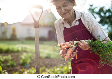 Senior woman in her garden holding carrots. Sunny nature.