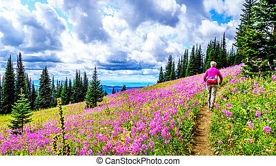 Senior woman on a hiking trail in alpine meadows covered in pink Fireweed flowers