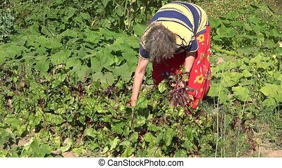 senior woman pick beetroot in own eco garden at summer time.