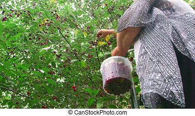 Senior woman picking cherry from a tree in orchard