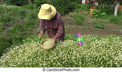 Senior woman picking fresh medical chamomile flowers -...