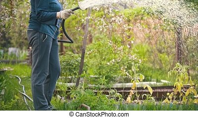 Senior woman water an Apple tree from a hose, summer day in the garden