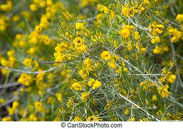 senna artemisioides yellow flowers