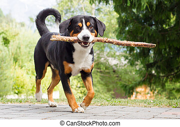Sennenhund playing with long branch - Young Sennenhund,...