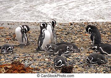 seno, otway, 企鵝殖民地, -, patagonia, 智利