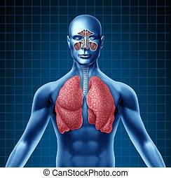 seno, sistema respiratorio, humano