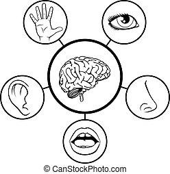 sens, cinq, cerveau