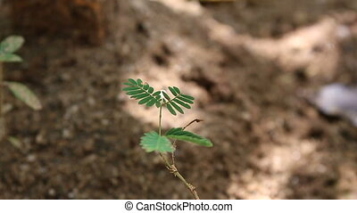 Sensitive green plant Mimosa Pudica. The plant is turned off...