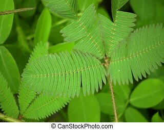 Sensitive plant (Mimosa pudica) - From the Ecuadorian Amazon