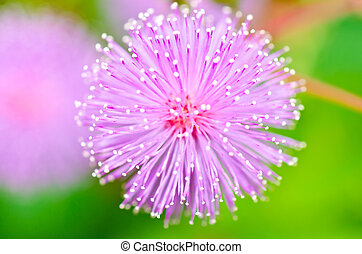 Sensitive plant - Mimosa pudica in green nature or in the garden