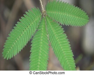 Sensitive plant (Mimosa pudica)