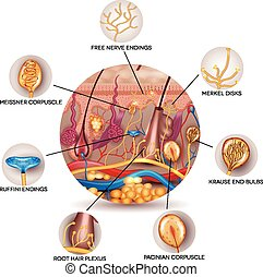 sensoriel, anatomie, récepteurs, peau