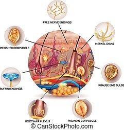 sensorisk, anatomi, receptors, skinn