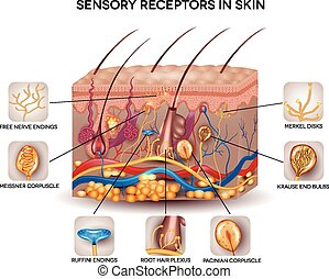 Sensory receptors in the skin. Detailed skin anatomy,...