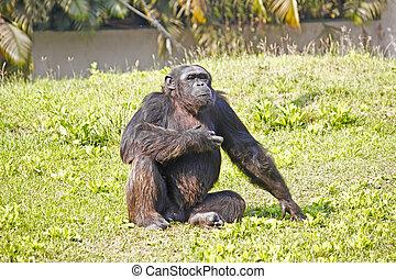 sentado, cimpanzee