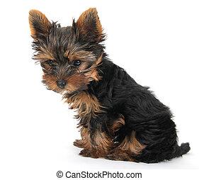 sentado, yorkshire, plano de fondo, blanco, perrito, terrier