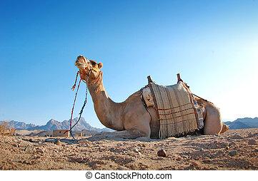 sentando, camelo, em, a, deserto